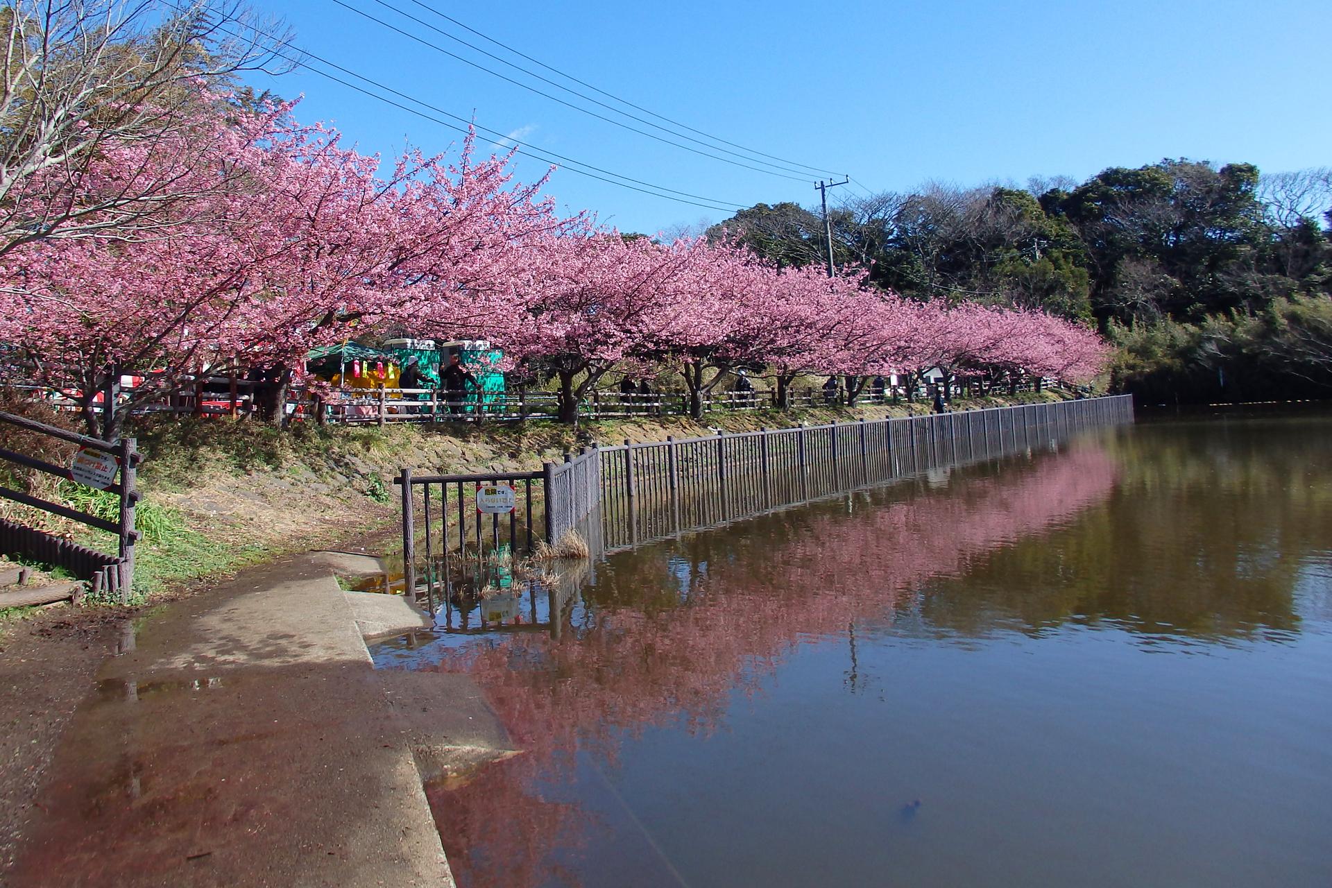 三浦海岸河津桜 歩いて10分