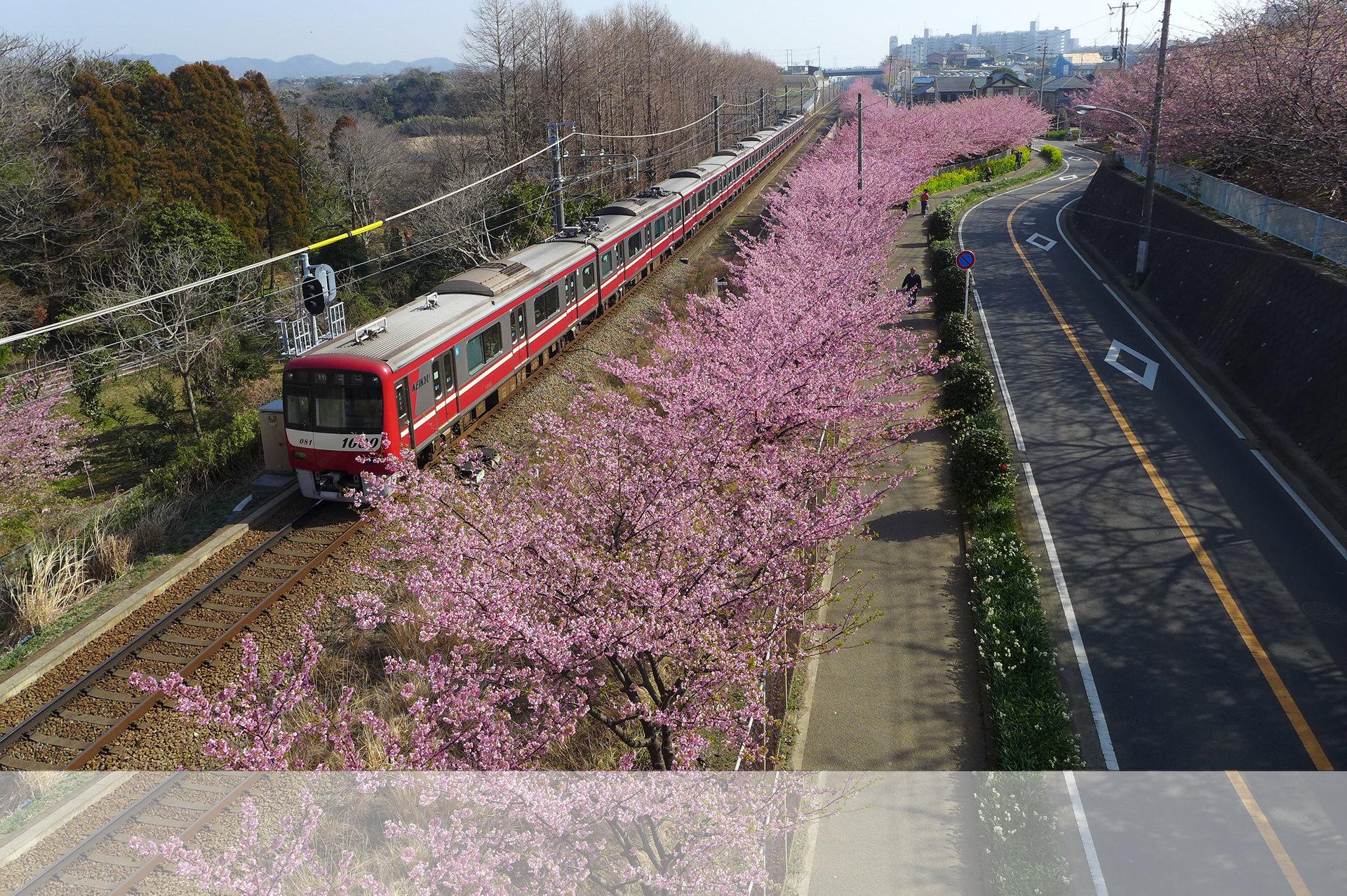 早咲きの河津桜はマホロバから歩いて10分