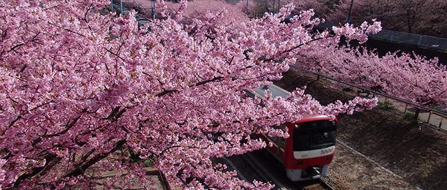2020年の三浦海岸桜まつりは2月5日から3月1日まで