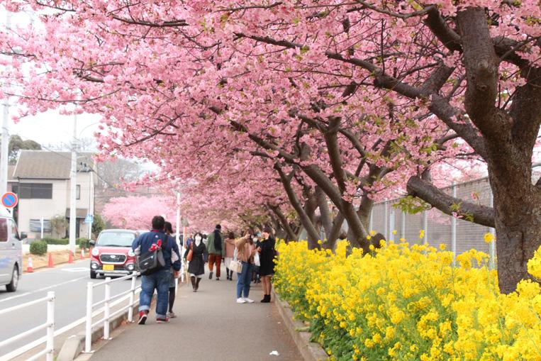 河津 桜 三浦 海岸 2021 三浦海岸の河津桜2021!見頃や開花は?桜まつりやライトアップは?