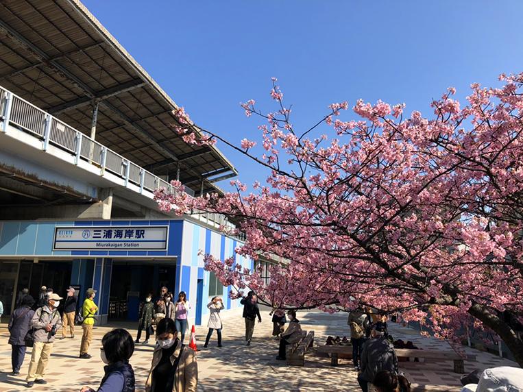 河津 桜 三浦 海岸 2021 三浦海岸河津桜2021の開花状況!駐車場やアクセスと撮影スポットも!