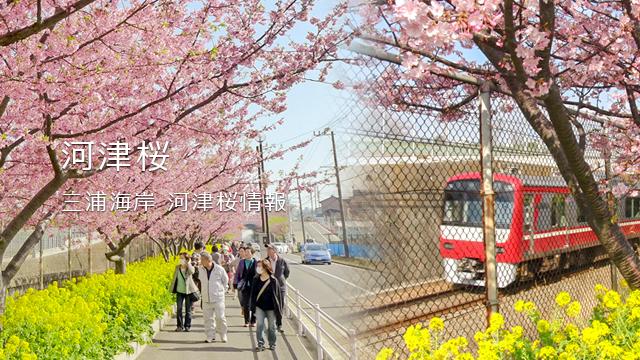 見頃 河津 桜